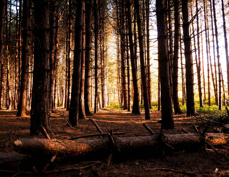 Ein Wald bestehen aus Nadelbäumen und findet Einsatz für einen Beitrag über Nadeholz